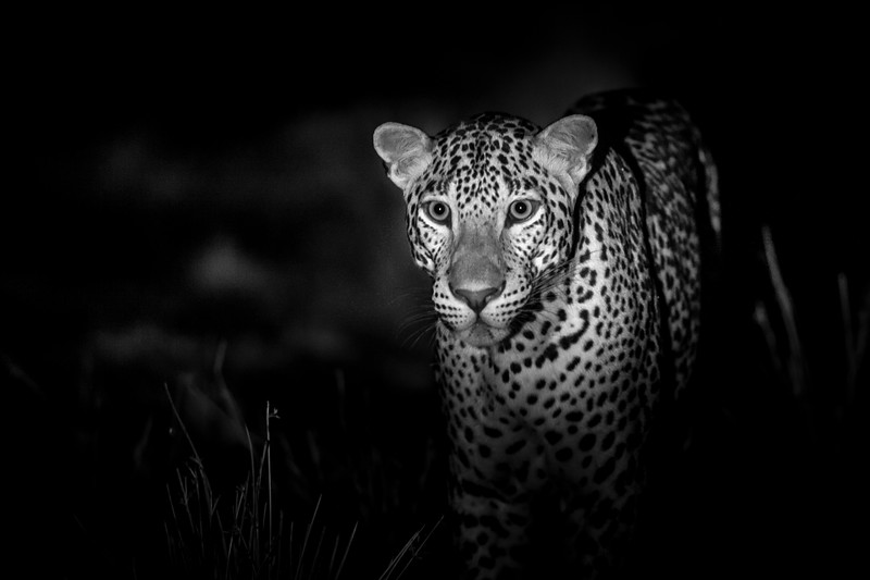 I was filming in Sri Lanka with @Cockroach... Here leopards are the top predator and, with no other big cat to compete, they have become super-sized. It was our first night in Yala national park and we were armed with the latest night vision cameras. Our plan was to observe and film natural behaviour whilst remaining unnoticed in the dark. Little did we know at the time, but our tiny monitors leaked enough light to catch a leopards attention. He turned and looked straight in our direction and started to approach. We were in an open-backed vehicle and it wasn