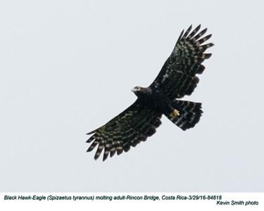 Black Hawk-Eagle A84818.jpg