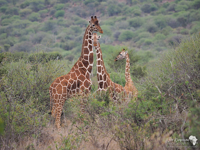 A Tower of Reticulated Giraffe