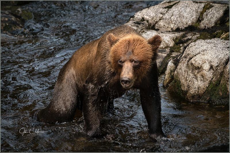 SR3_3076 SCUBA Sue Alaskan Brown Bear L W.jpg