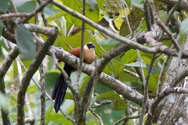 Black Faced Coucal