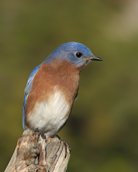 bluebird_6859.jpg