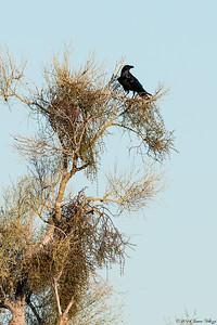 Chihuahuan Raven, Corvus cryptoleucus