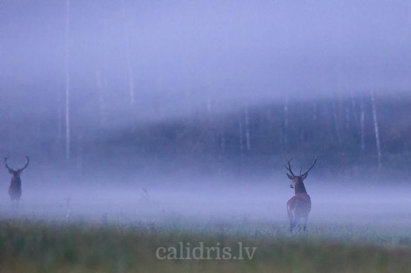 Staltbrieži / Red deer
