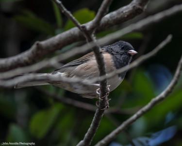 Dark-eyed Junco Oregon (West)