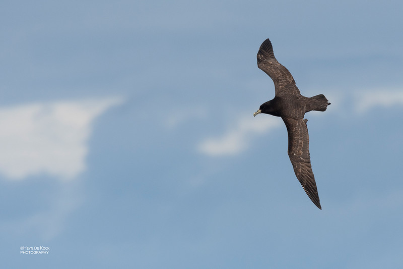 White-chinned Petrel, Eaglehawk Neck Pelagic, TAS, Dec 2019-1.jpg