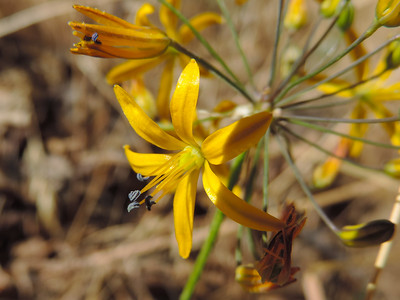 Goldenstars (Bloomeria crocea)