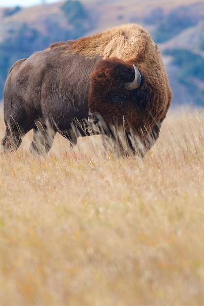 Bison Teddy Roosevelt National Park ND IMG_6916.jpg