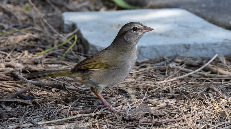 Olive Sparrow  @ Laguna Vista Nature Trail