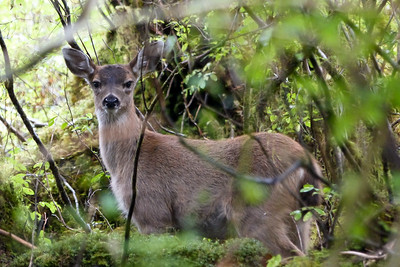 Black-Tailed Deer in the Brush September 2015, Cynthia Meyer, Chichagof Island, Alaska P1110037
