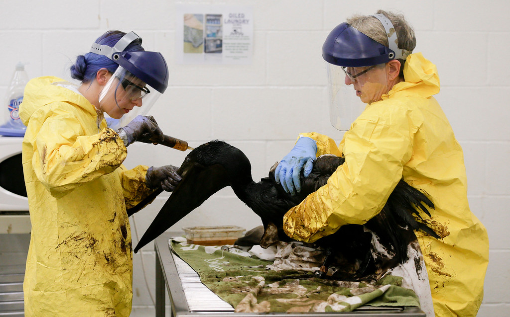 . Staff members and volunteers work to clean oil off a brown pelican at the International Bird Rescue office in the San Pedro area of Los Angeles, on Friday, May 22, 2015. A broken onshore pipeline in near Santa Barbara, Calif., spewed oil down a storm drain and into the ocean for several hours Tuesday before it was shut off. (AP Photo/Chris Carlson)