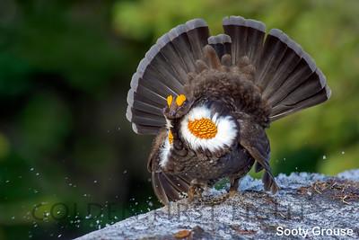 Sooty Grouse, Rainier National Park, USA