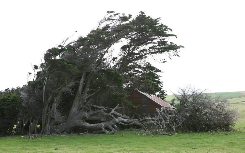 Windgeneigter Baum