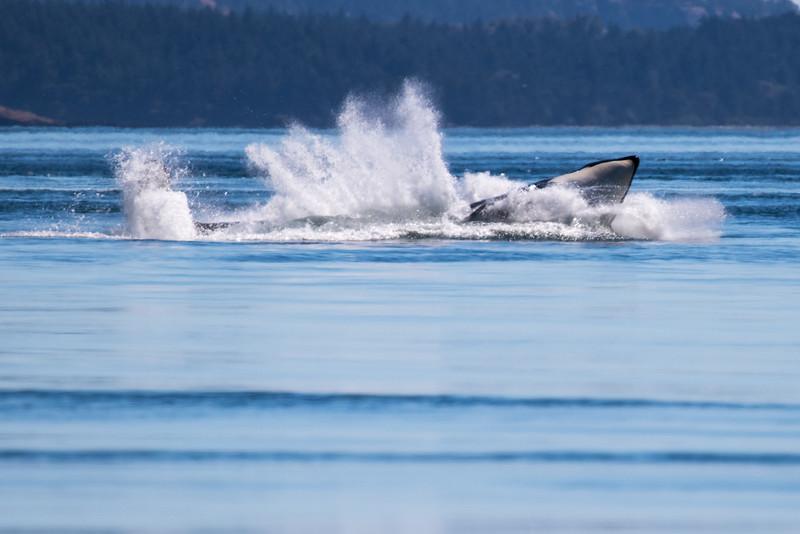 Orcas -  073115-105.jpg