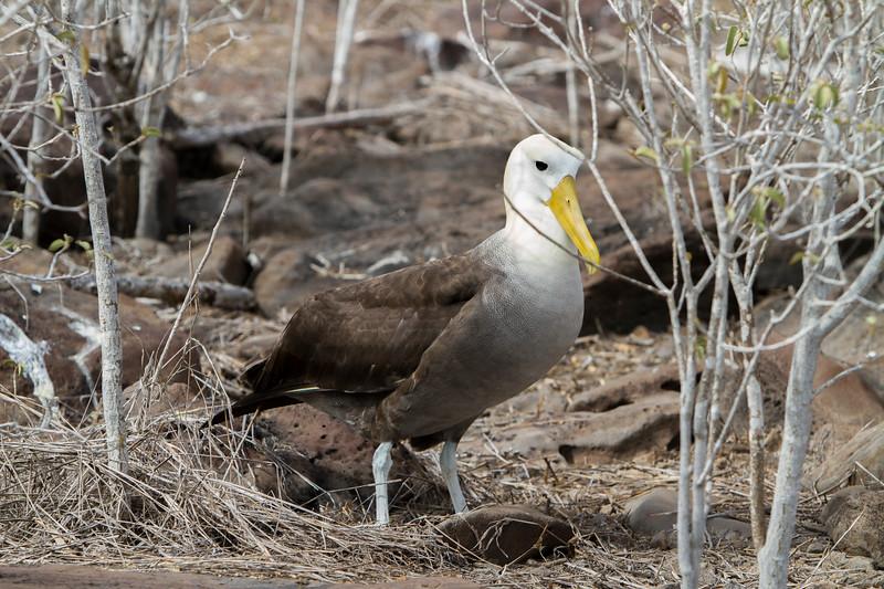 Albatross on Floreana.jpg