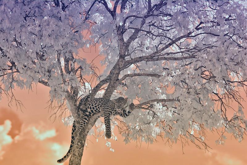 leopard, infrared, masaimara