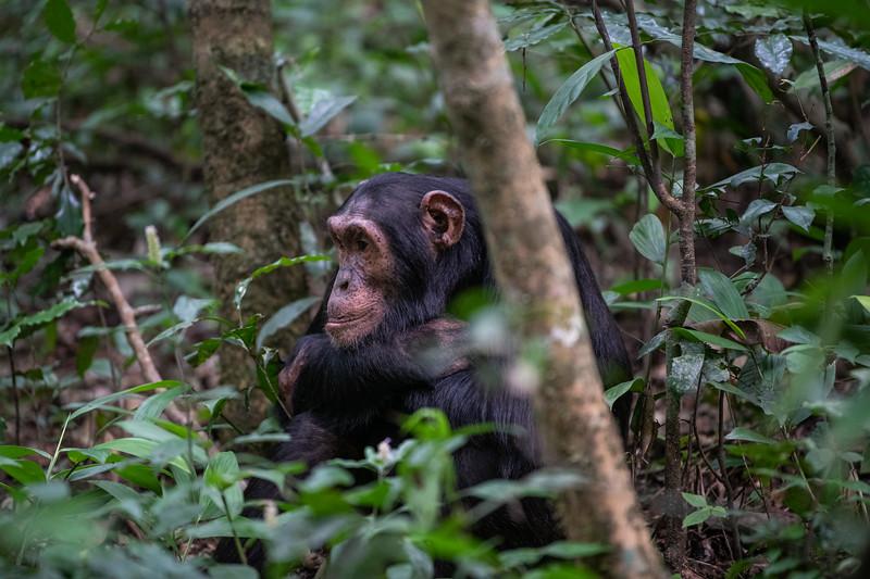 Uganda_T_Chimps-582.jpg