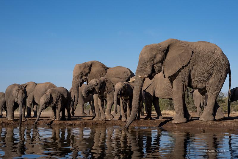 African Elephant, Mashatu GR, Botswana, May 2017-25.jpg