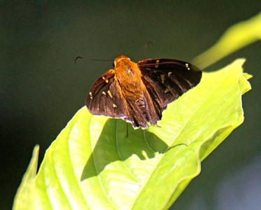 Unidentified Skipper (brown & gold)