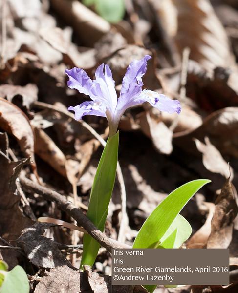 Iris%20verna.jpg