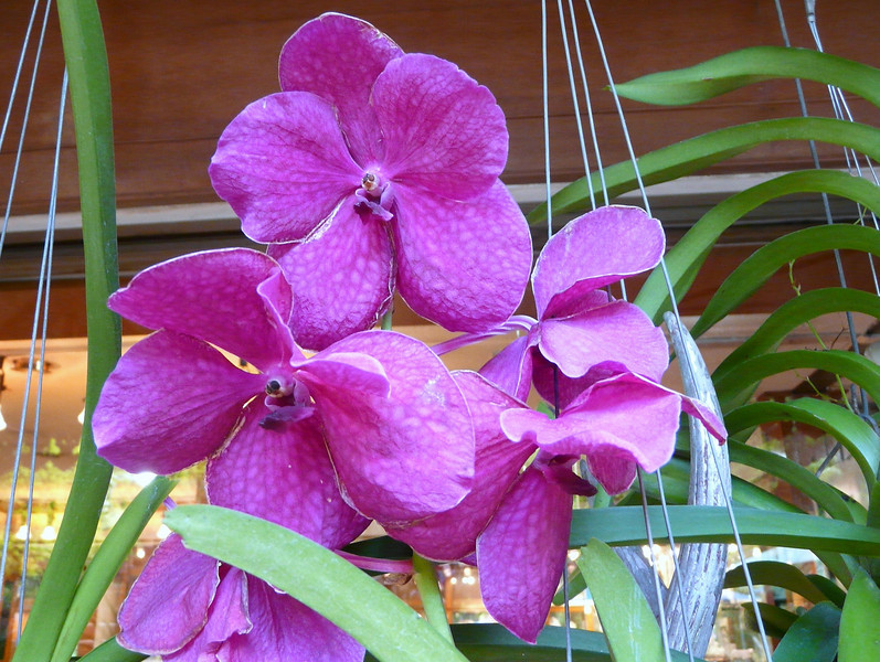 Orchids at Wat Phra That Doi Suthep Temple complex.