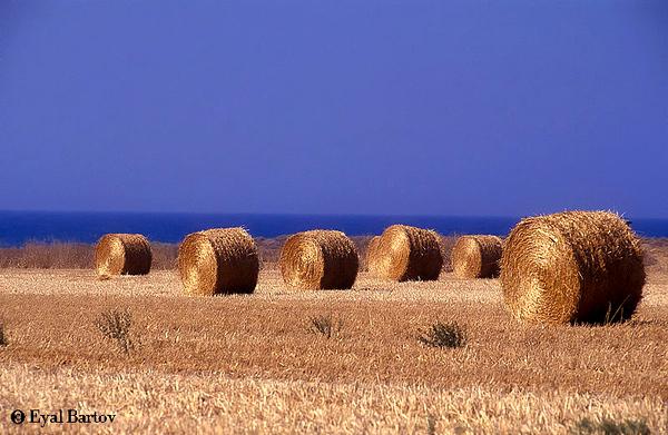 חציר בשדה.jpg