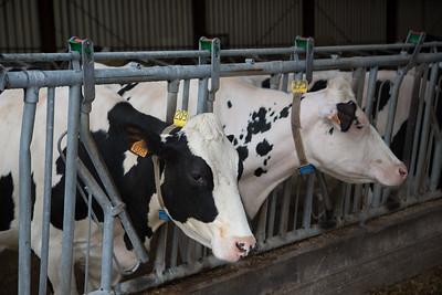 Elevage de vaches laitières