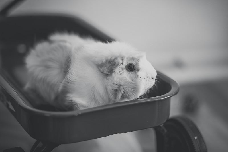 Ginea Pigs-13.jpg