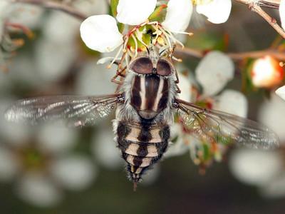 Nemestrinidae - Tangle-veined Flies