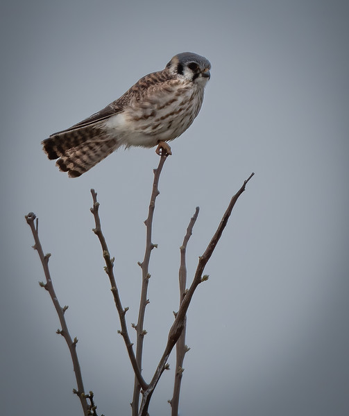 _6001931-Edit-Edit-American Kestrel female portrait.jpg