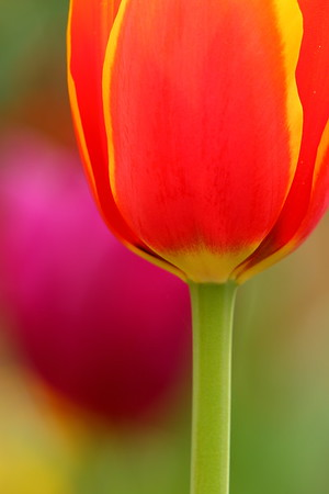A red tulip with a purple tulip in the background. © 2020 Kenneth R. Sheide