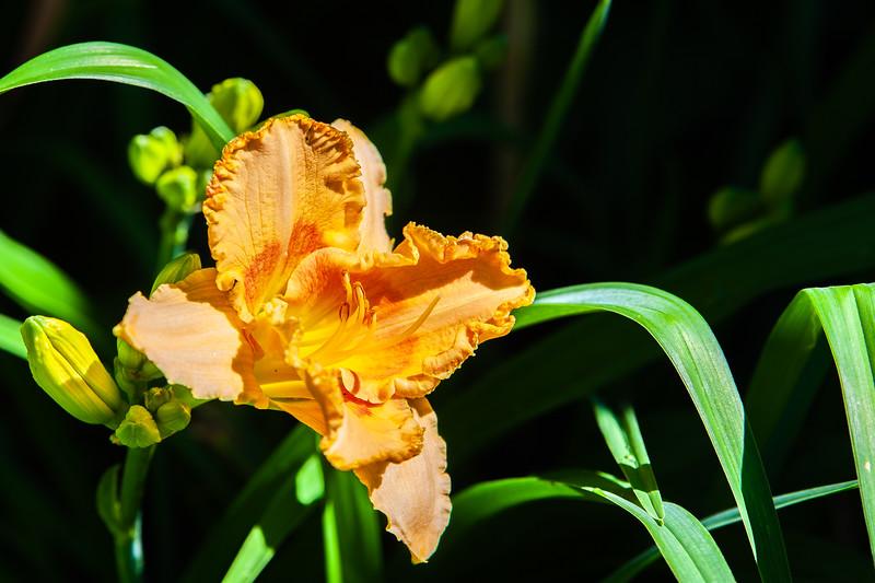20190714 Daylilies and Flowers-6423.jpg