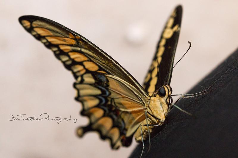 butterfly071616-1.jpg