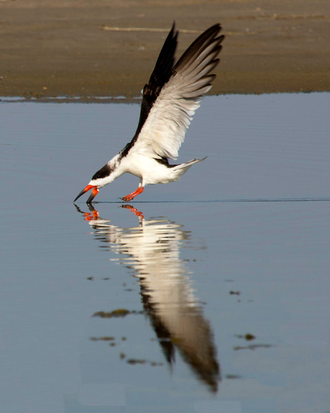 Black Skimmer hunting food