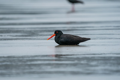 Variable Oystercatcher [Haematopus unicolor]