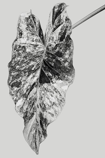 alocasia odora 'Variegata'
