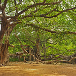 Ficus benghalensis, also known as Bengal fig, Indian fig, East Indian fig in Ranthambhore