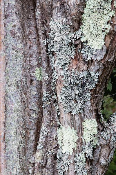 Lichen on Hawthorn