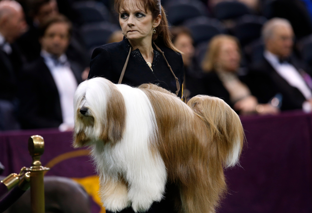Description of . A Tibetan Terrier is carried by a handler to be judged during competition in the Non-Sporting Group at the 137th Westminster Kennel Club Dog Show at Madison Square Garden in New York, February 11, 2013. REUTERS/Mike Segar