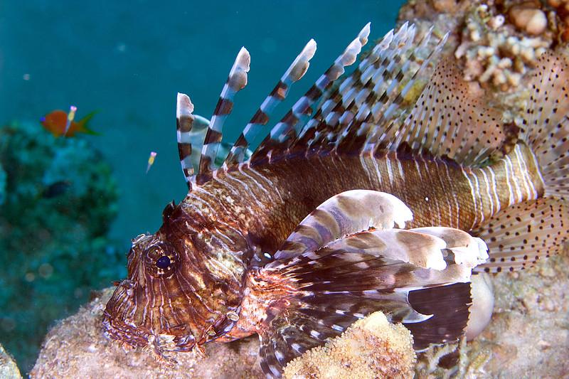 Lionfish 2.jpg