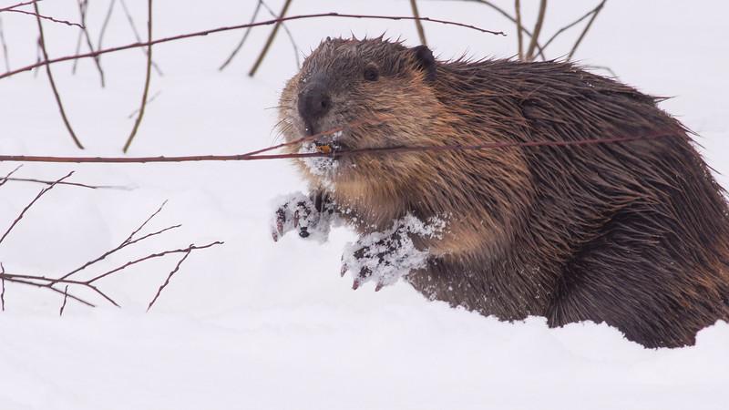 Beaver Stickney Road Sax-Zim Bog MN DSC01418.jpg