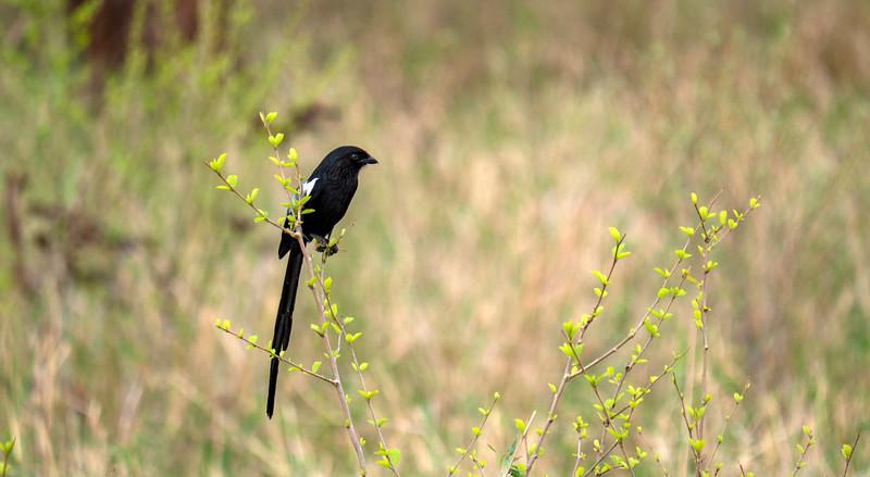 Tanzania-Tarangire-National-Park-Safari-Magpie-Shrike-01.jpg