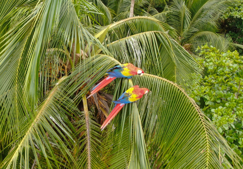 Scartlet macaws (ara macao) guacamaya on a palm tree in Costa Rica