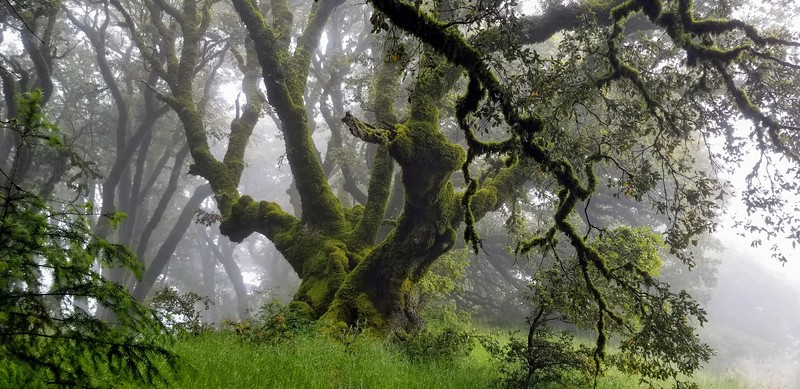 Mossy tree in fog