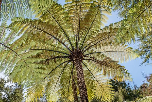 Black tree fern / mamaku - Cyathea medullaris