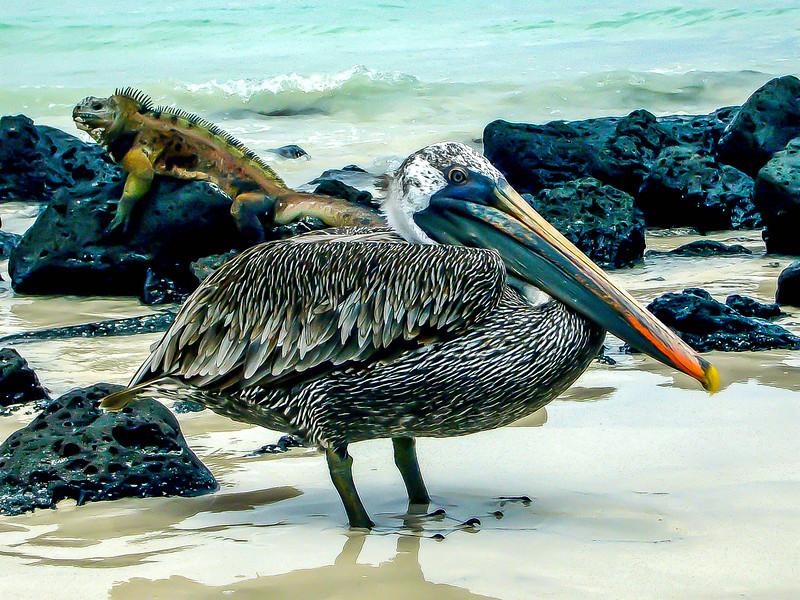 pelicaniguana.jpg