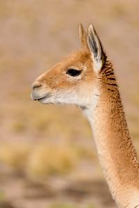 Cameloids