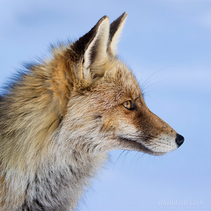Red Fox (Zorro)
