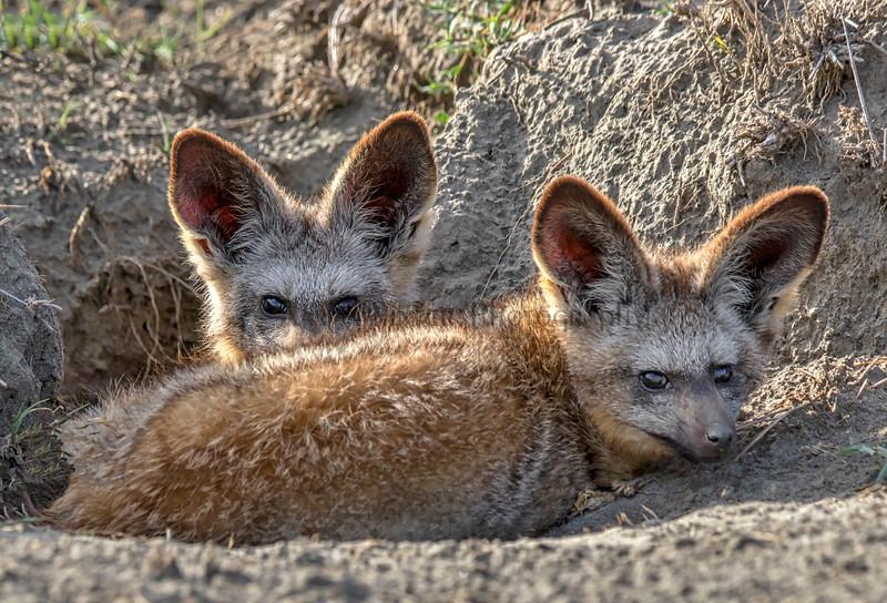 Bat Those Eyes You Fox