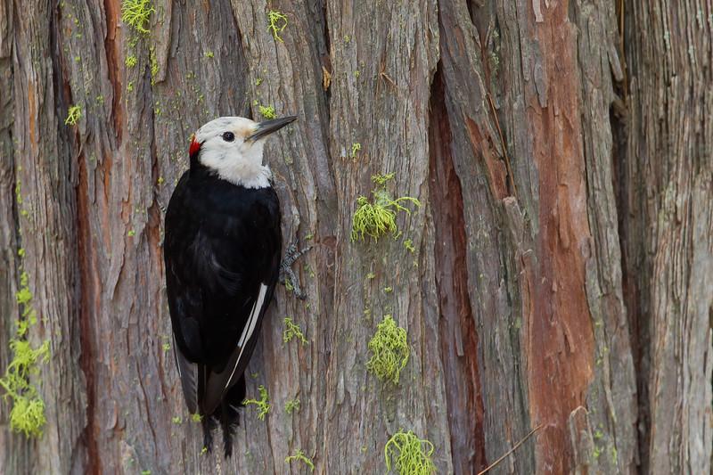 White-headed Woodpecker - Yosemite National Park, CA, USA